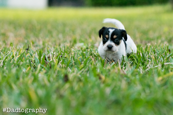 Brutus the Terrier Puppy